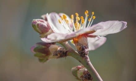 Comienza la floración de los almendros del Forestal